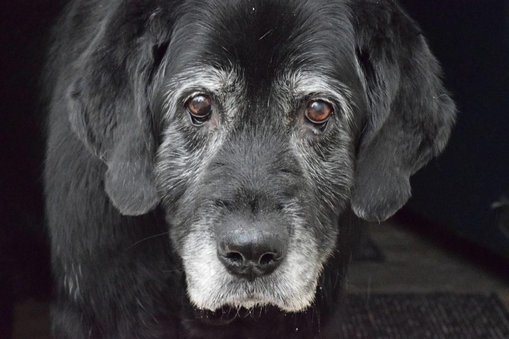 シニア 犬