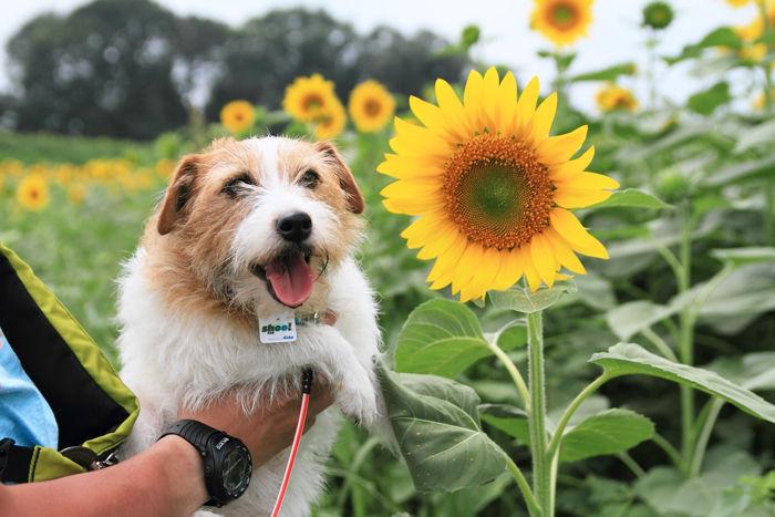 向日葵 (1)