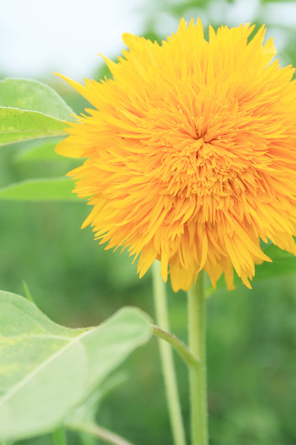 向日葵 (5)