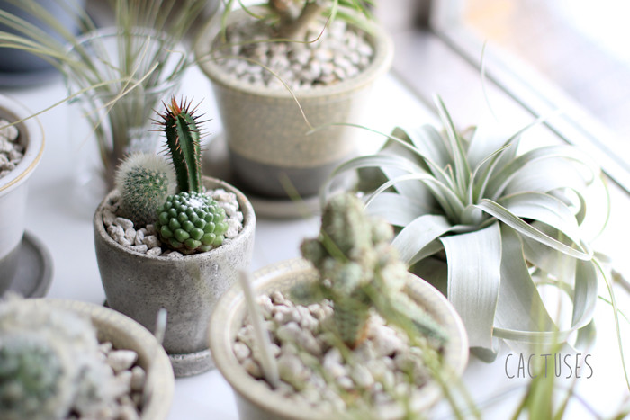 cactuses (1)