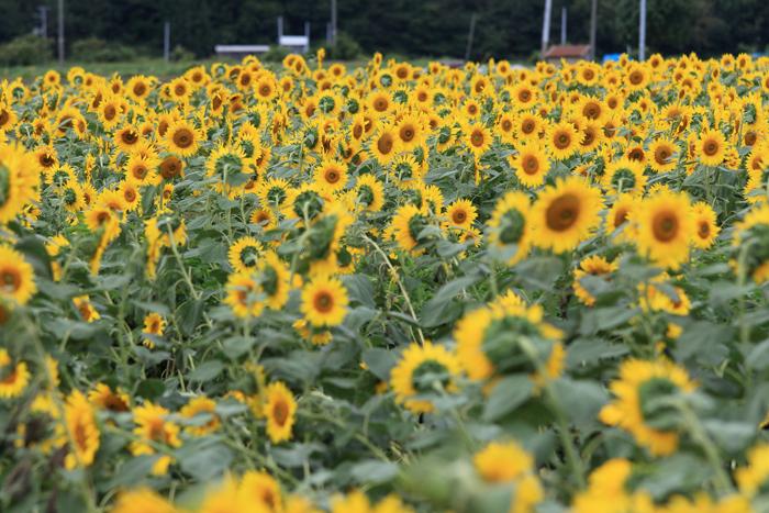 0814-2 (2)ひまわり畑