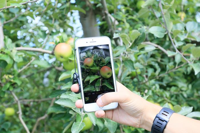 0813 (15)最古のりんごの樹