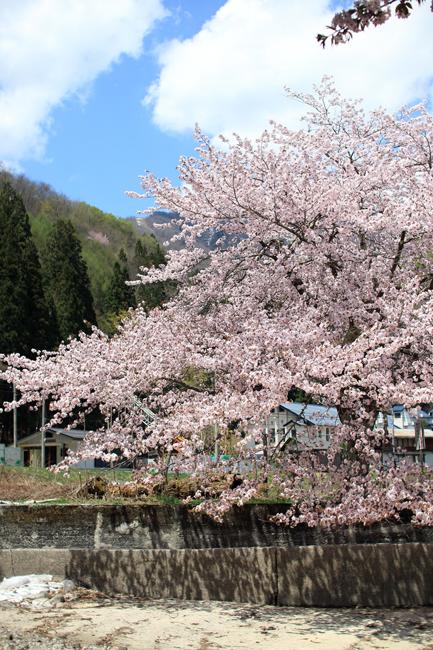 青木湖桜 (4)