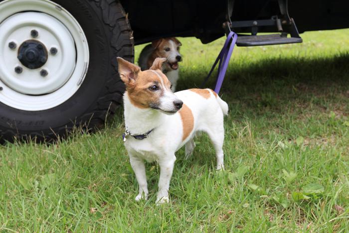 キャンプわんこ犬ミューとココモ (1)