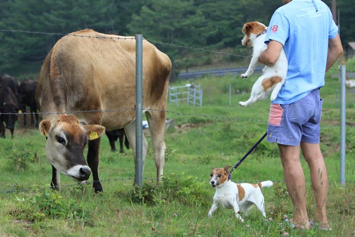 4ジャージー牛
