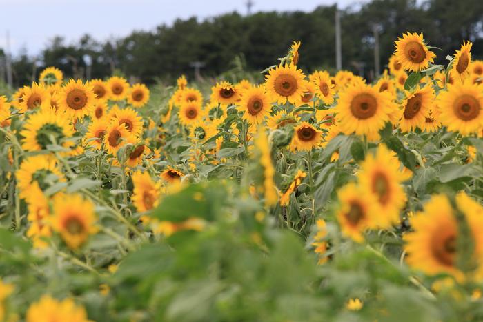0814-2 (3)ひまわり畑