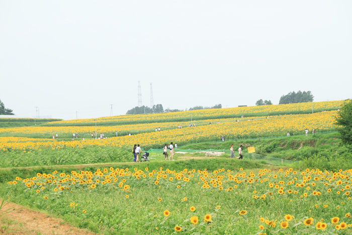 向日葵 (7)