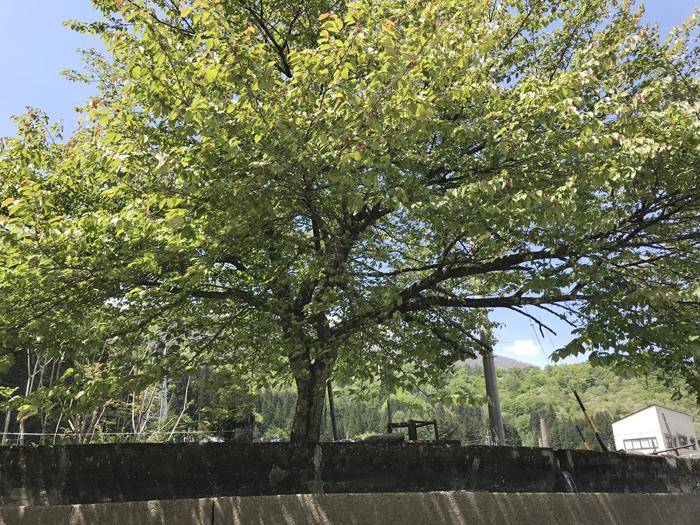 3-2-8山桜