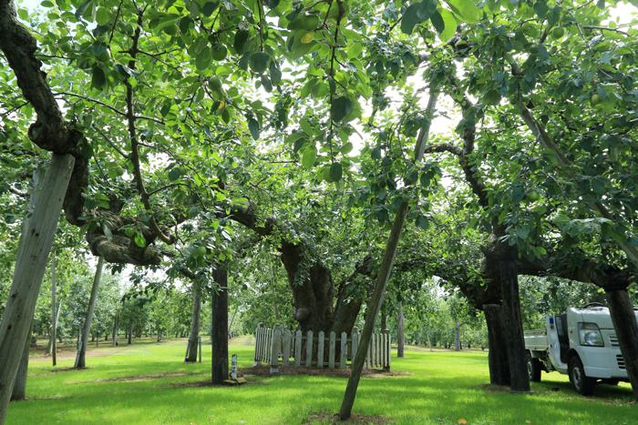0813 (9)最古のりんごの樹