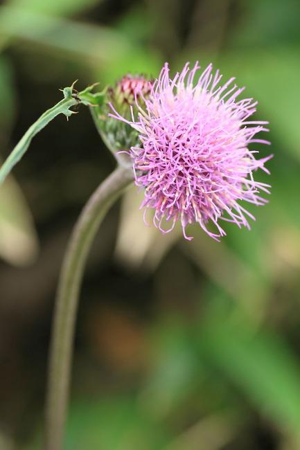 高山植物 (3)