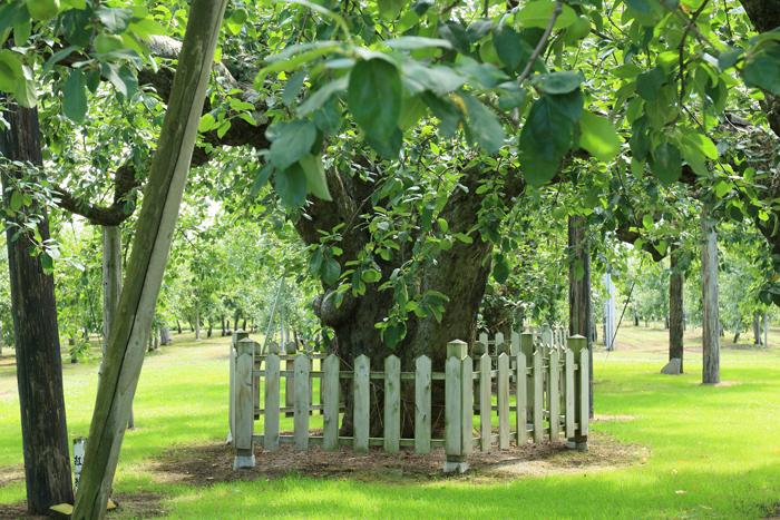 0813 (13)最古のりんごの樹