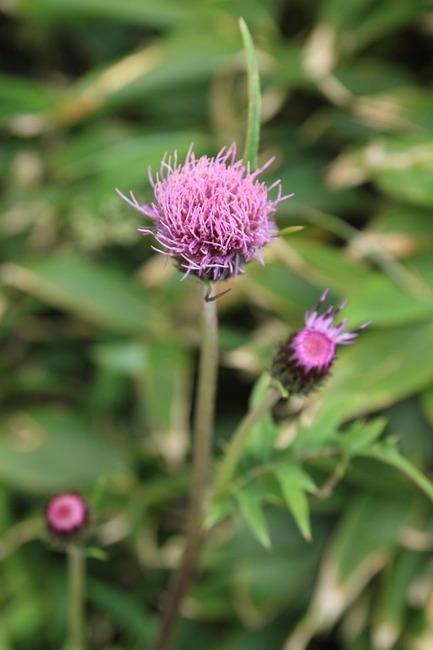 高山植物 (4)
