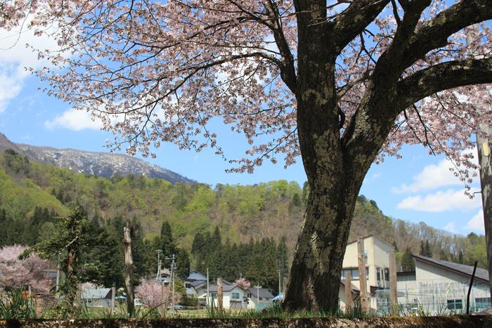 青木湖桜 (1)