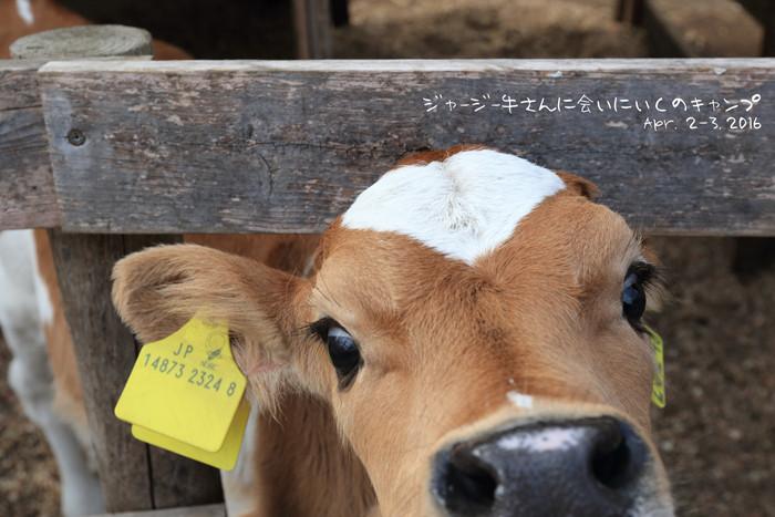 牛 (7)