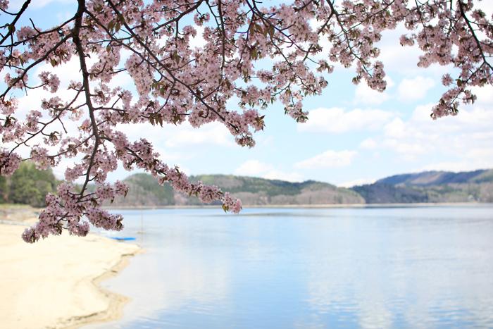 青木湖桜 (3)