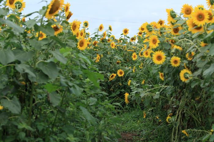 0814-2 (1)ひまわり畑