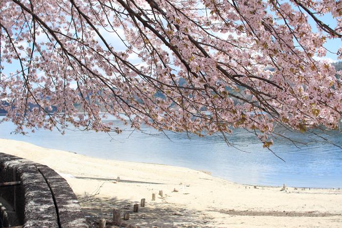 青木湖桜 (2)