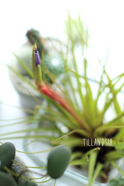 Tillandsia f (2)