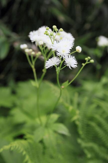 高山植物 (6)